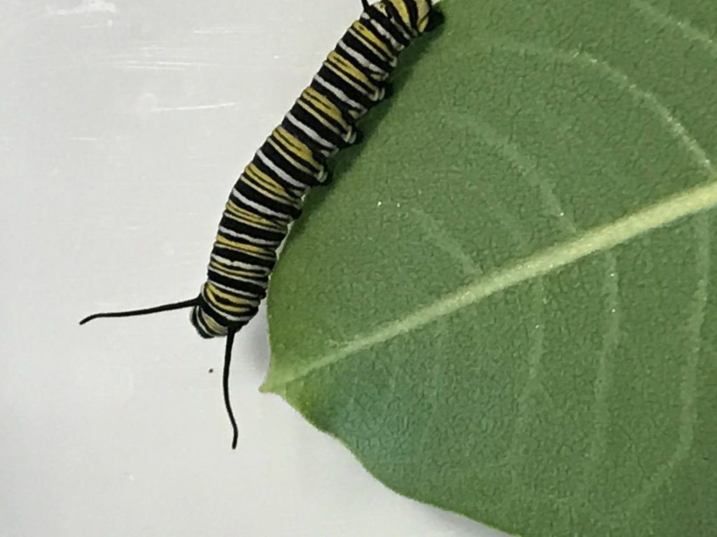 Monarch Caterpillar on a Milweed leaf