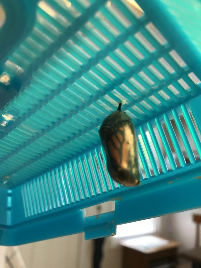 Monarch butterfly chrysalis about to emerge.