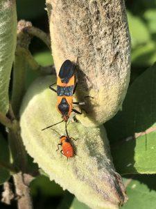 Milkweed bug with juvenile on Common Milkweed pod